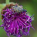 Coleoptera, Apionidae (à déterminer)