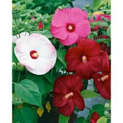 hibiscus vivace