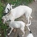 maman et 4 chiots 1