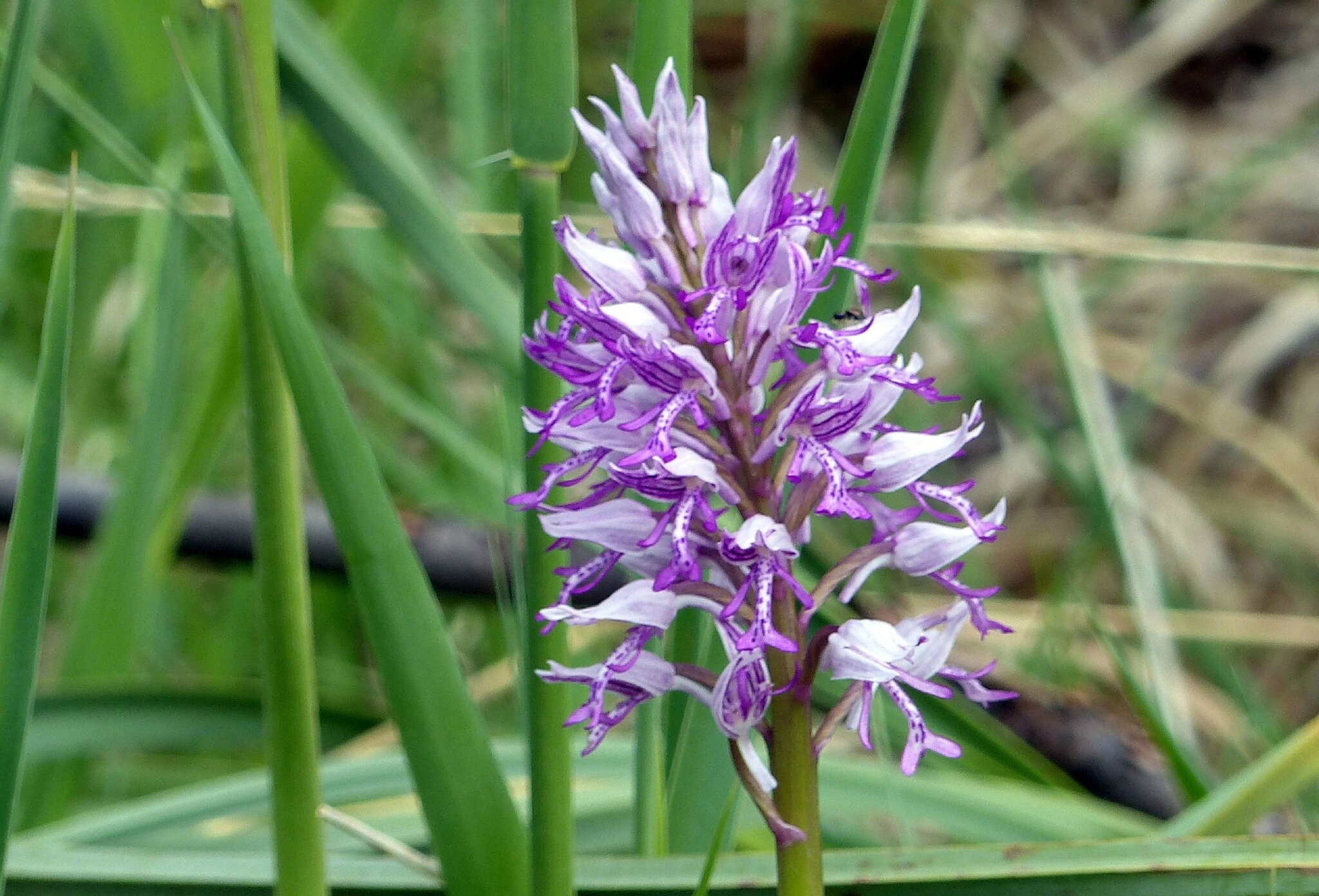 Orchis militaire (1)