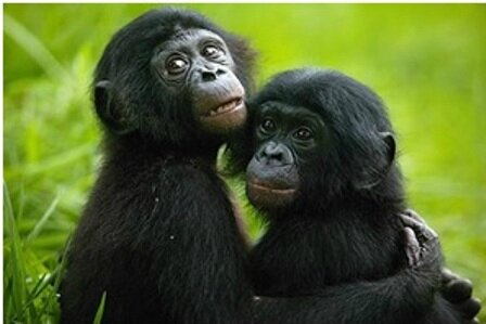Couples de singes