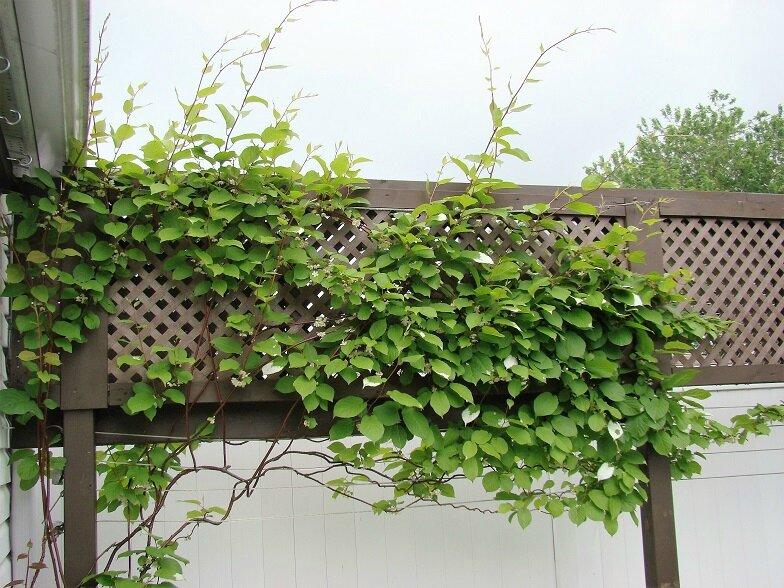 plantes grimpantes kiwi