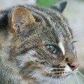Chat d'Amour ou chat léopard de Sibérie