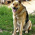 chien traineau
