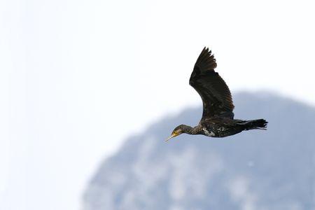Grand_cormoran