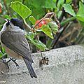 Mésange nonnette • Poecile palustris • Famille des Paridae