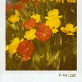 Polaroïd tulipes