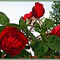Roses rouges 060515