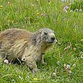 marmotte de Pralognan