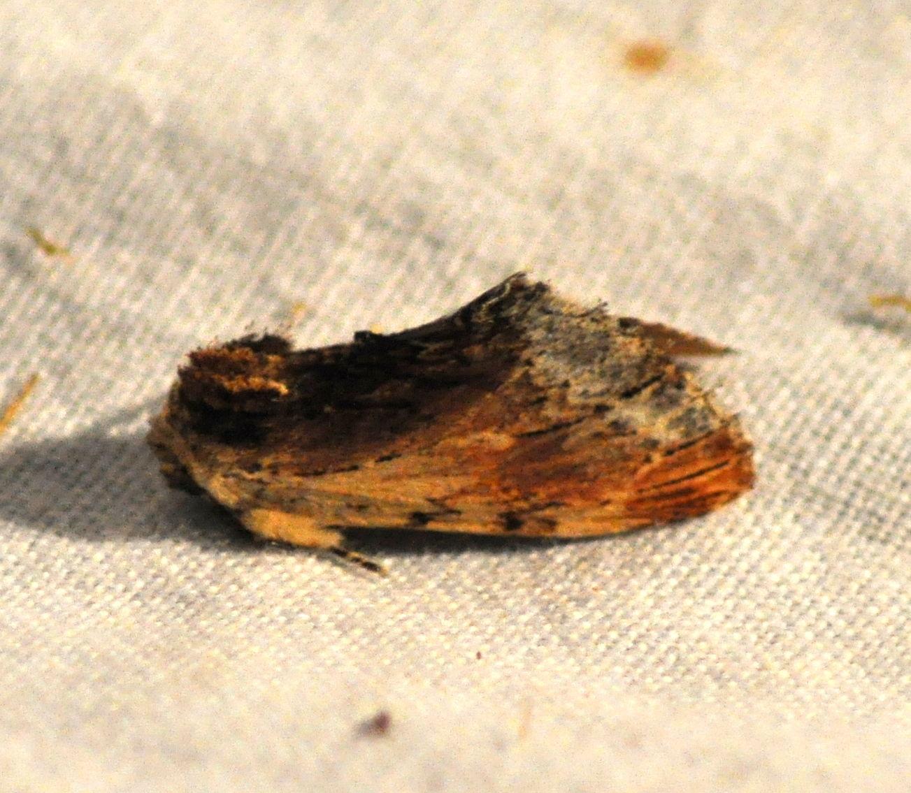 Ptilodon cucullina( le capuchon)
