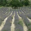 Provence, champ de lavande (13)