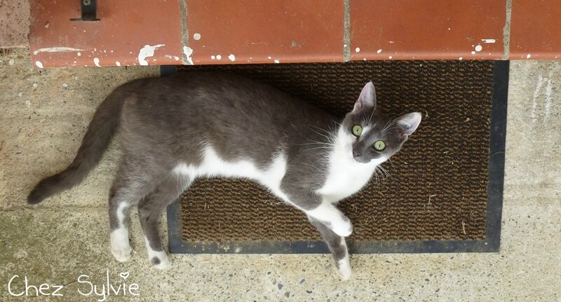 Chat gris12