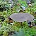 Polyporus ciliatus (2)
