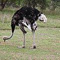autruche / ostrich
