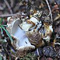 Scutiger cristatus (3)