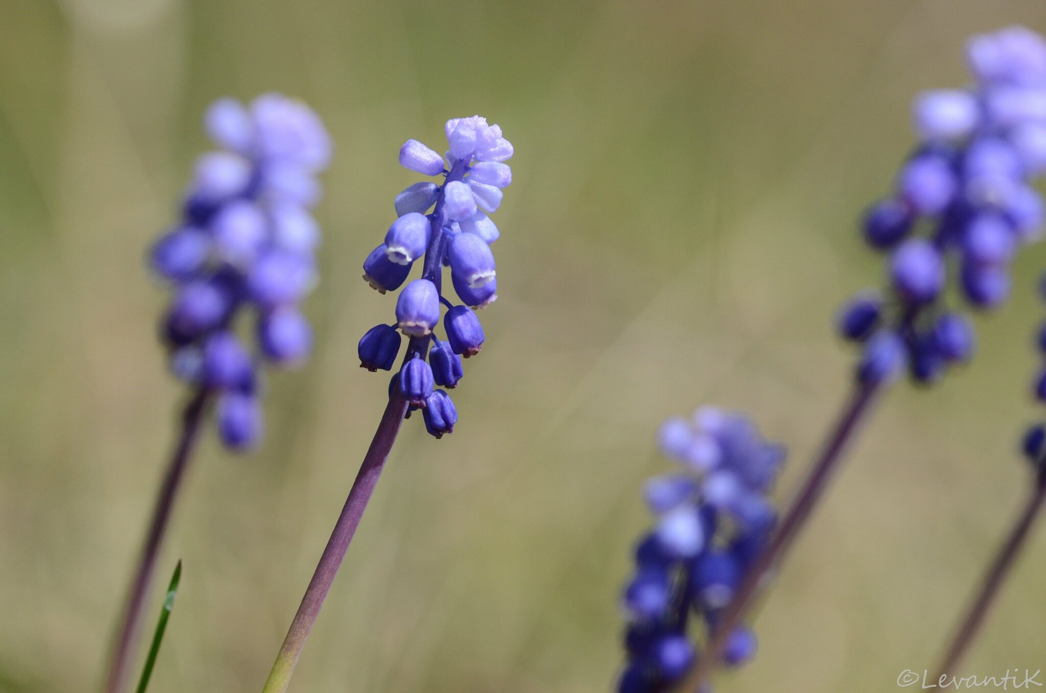 muscari botroyoides (2)