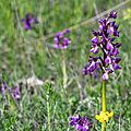 Orchis bouffon - Anacamptis morio (9)