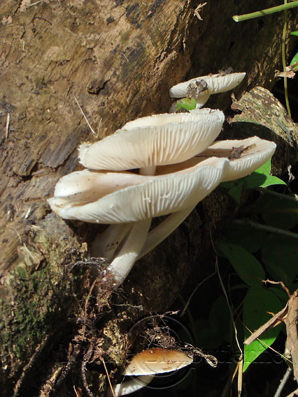 Photographie-Nature-Foret tropicale-Champignon-Martinique 10