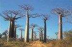 baobab2