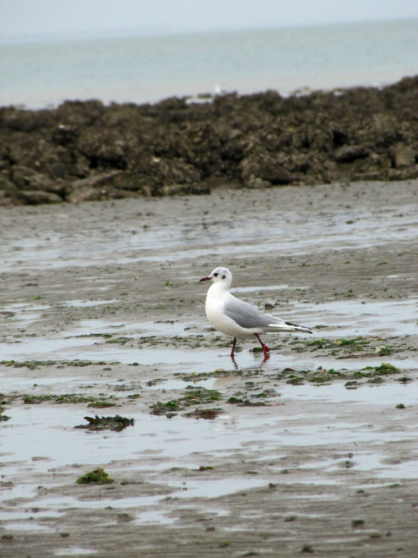 Oiseaux ile de re foto Mo2 (33)-h1500