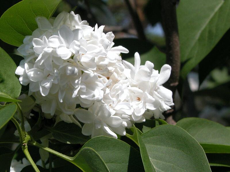 Lilas blanc 36