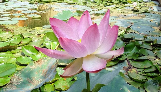 ART 2019 02 fleur de lotus