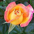 Rose 2105165