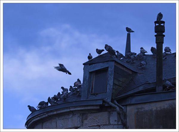ville pigeons groupir 1 010113