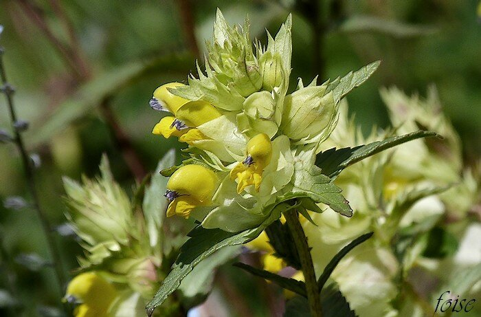 fleurs en épi dense