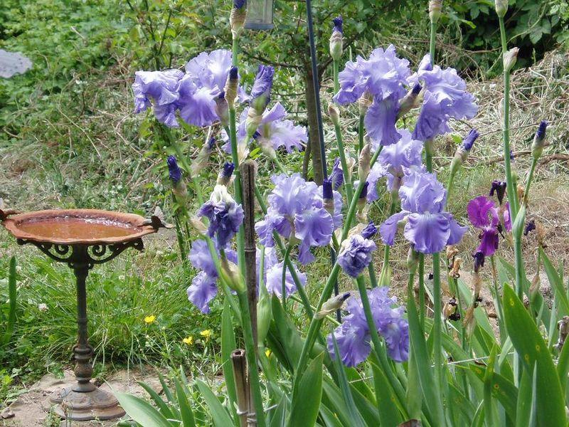 Iris au jardin d'oiseaux