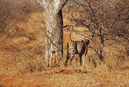 Gu_pard_marquant_son_territoire__r_serve_de_Thornybush__Afrique_du_Sud