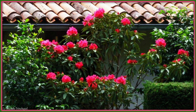 Rhododendron 0605152