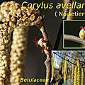 13 Corylus avellana-001