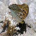 Papillons de l'été: petit nacré