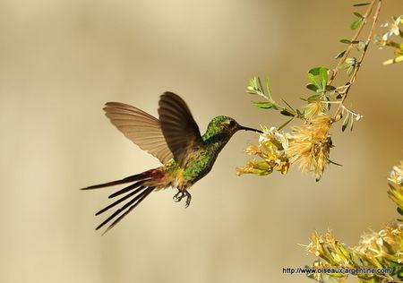 colibri_sapho__6_