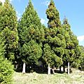 Cryptomeria du japon