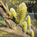 12 Salix cinerea