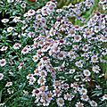 Aster Pink-Buttons