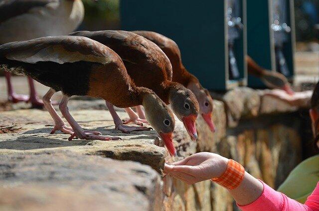 canards repas