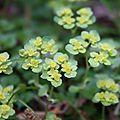 Dorine Chrysosplenium altenrifolium Saxifragacee (4)