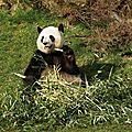 Leurs crânes expliquent la coexistence du panda roux et du panda géant !