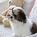 a_CHIEN_CHIOT_ SHIH TZU_A_VENDRE_A_ADOPTER_PARTICULIER__ELEVAGE_ELEVEUR_11_34_30_aude_narbonne_ HERAULT_GARD_MONTPELLIER_ NIMES_LUNEL_NEWS_PRESS_CARD_2019_11 (2)