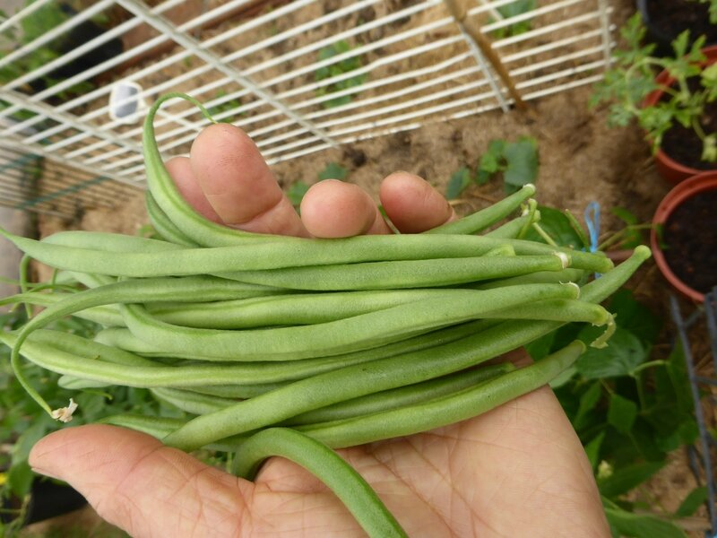 26-1ers haricots verts serre (1)