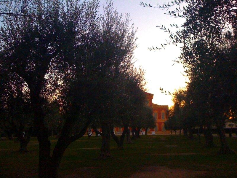 La colline de Cimiez, l'oliveraie