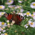 2008 09 18 Un papillon qur une fleur d'aster