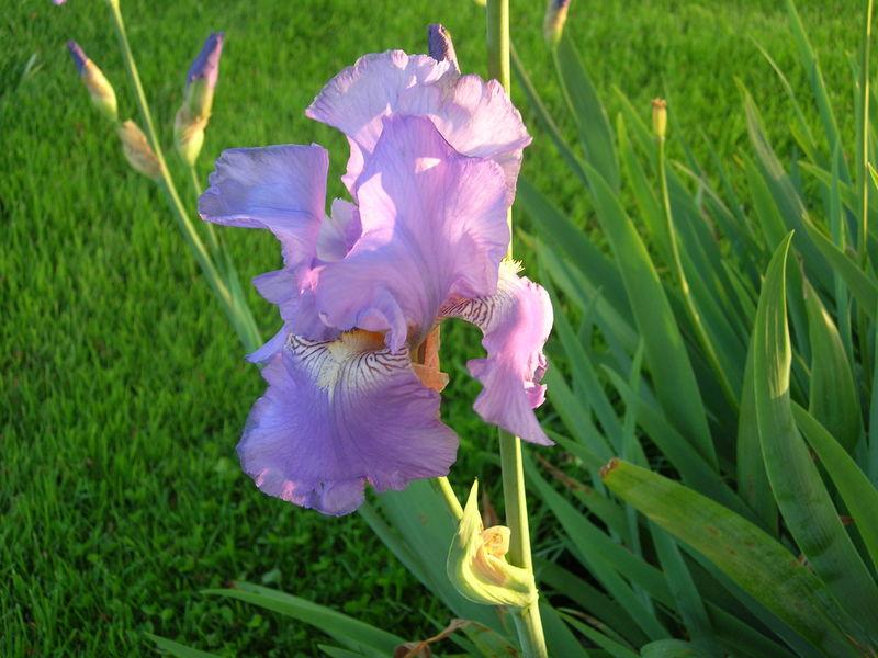 Iris du golf