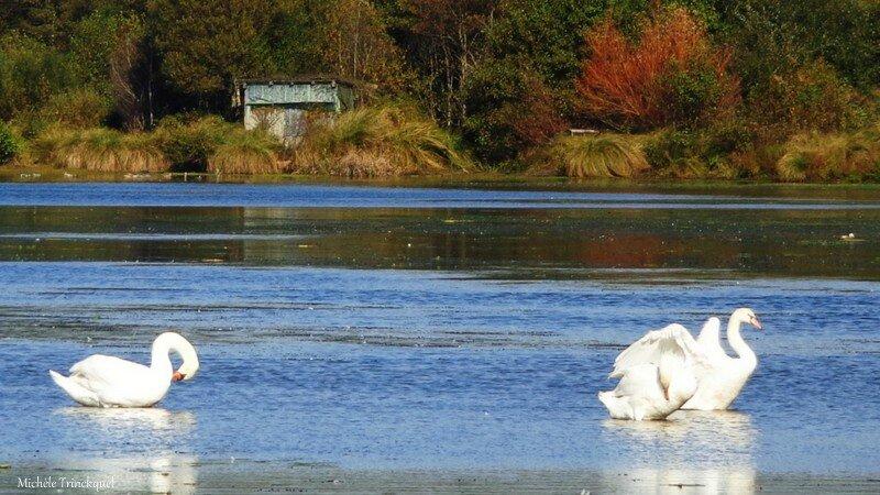 Lac Cygnes 26101517