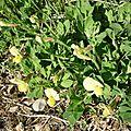 Lotier à gousses carrées (Lotus maritimus).