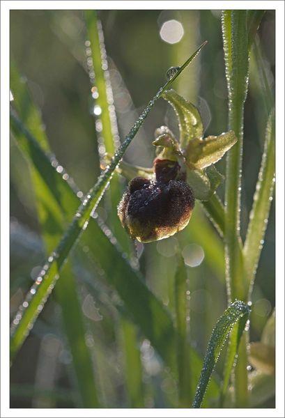 plaine ophrys araig rosee 040513