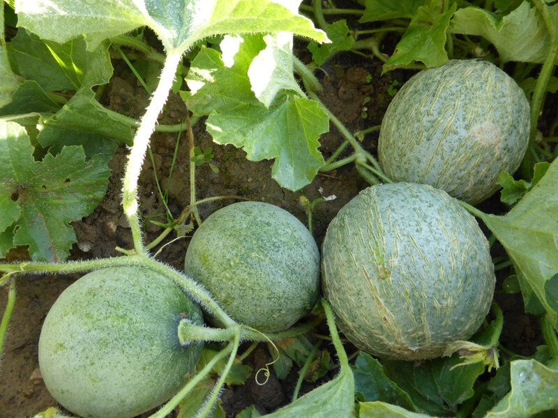 16-melons (9)